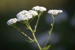 Hintergrund der weißen Blumen - blühen Sie Euphorbiengummi, Abschluss herauf Ansicht Lizenzfreie Stockfotos