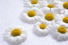 Hintergrund der weißen Gänseblümchen Lizenzfreie Stockbilder