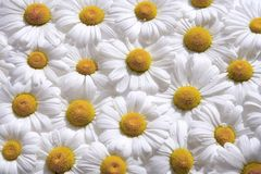 Hintergrund der weißen Gänseblümchen Stockfotografie