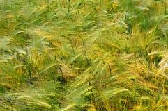 Hintergrund der Weizenspitzen Stockfoto