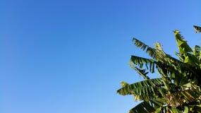Hintergrund des blauen Himmels mit Bananenstaude Lizenzfreies Stockfoto