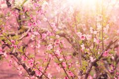Hintergrund des Frühlingsblütenbaums mit rosa schönen Blumen Selektiver Fokus lizenzfreies stockbild
