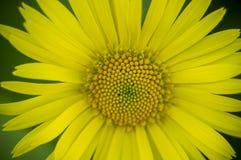 Hintergrund des gelben Gänseblümchens Lizenzfreie Stockbilder