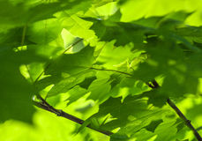 Hintergrund des grünen Ahornblattsonnentages Stockfotografie
