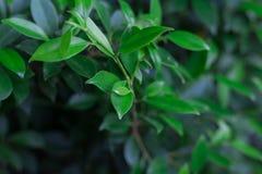 Hintergrund des grünen Buschabschlusses der Blätter oben Stockfotos