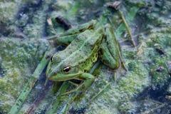 Hintergrund des grünen Frosches und des Flusses Betriebs stockfoto