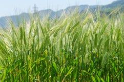 Hintergrund des grünen Gerstenfeldes Stockbilder