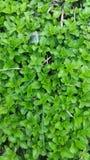 Hintergrund des grünen Grases Stockfotografie