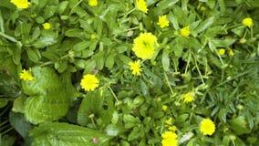 Hintergrund des grünen Grases und Blumen sehen horizontal von oben an stock video