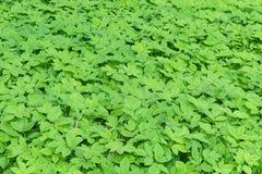 Hintergrund des grünen Grases und der Blätter Sichtbarer Löwenzahn und Grasstämme Lizenzfreie Stockfotografie