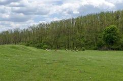 Hintergrund des Himmels, der Wolken, des Feldes, des Akazienwaldes und der Mengenschafe Lizenzfreie Stockfotos