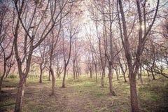 Hintergrund des Kirschblütenwaldes mit Weichzeichnung stockfoto