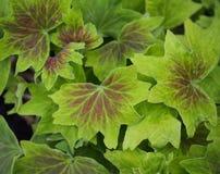 Hintergrund des Lindgrüns und der Burgunder-Blätter Stockfoto