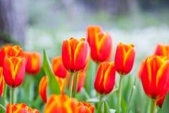 Hintergrund des orange Gelbs der Tulpe stockbild