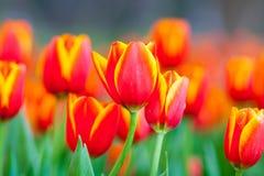 Hintergrund des orange Gelbs der Tulpe stockbilder