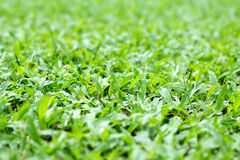 Hintergrund des Savannengrases oder des Teppichgrases Stockbilder