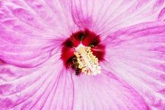 Hintergrund des schönen rosa Hibiscus mit Honigbiene durch pollinat Stockfotografie