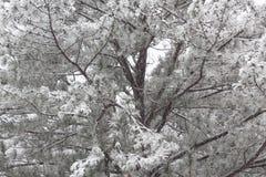 Hintergrund des Schnees umfasste Kieferniederlassungen Lizenzfreies Stockbild