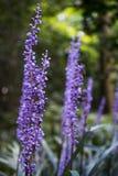 Hintergrund des violetten lilyturf eine kleine Krautblume im Garten Lizenzfreie Stockfotos