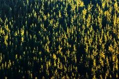 Hintergrund des Waldes mit Baummuster bei Sonnenuntergang Lizenzfreie Stockfotos