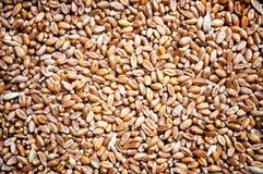 Hintergrund des Weizens Stockfoto