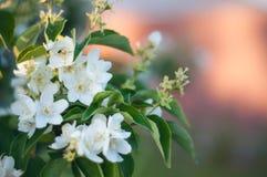 Hintergrund einer grünen Landschaftsabstraktion der Blumen auf einem Baum an einem warmen Sommertag Stockfotografie