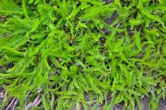 Hintergrund eines grünen Grases Stockbild