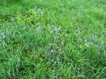 Hintergrund eines jungen Wiesengrases mit kleinen blauen Blumen und gelbem Löwenzahn Lizenzfreies Stockbild