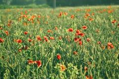 Hintergrund-Feld mit grünen Trieb des Kornes und der Mohnblume blüht Stockfoto