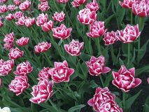 Hintergrund in Form einer Wiese von rosa Tulpen Lizenzfreie Stockfotos