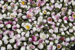 Hintergrund: geschlossene Gänseblümchen - Leucanthemum Vulgare Lizenzfreie Stockfotos
