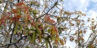 Hintergrund Grüne und rote Blätter und Blumen der Walnuss gegen den blauen Himmel und die weißen Wolken lizenzfreie stockfotografie
