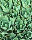 Hintergrund-Kaktuspflanze Lizenzfreies Stockbild