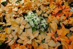 Hintergrund-Massen-Poinsettias lizenzfreie stockfotografie
