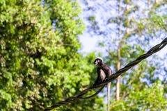 Hintergrund mit dem Affen oder düsterem Langur, die auf Draht im Regenwald, Langkawi, Malaysia sitzen stockfotografie