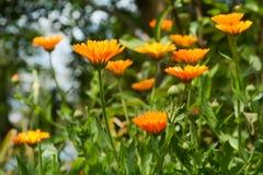 Hintergrund mit dem Blühen blüht Calendula officinalis, Ringelblume Lizenzfreie Stockfotografie
