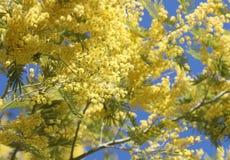 Hintergrund mit den gelben Blumen der Mimose im Frühjahr geblüht und stockfotografie