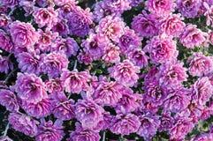 Hintergrund mit den rosa Chrysanthemen bedeckt mit Frost lizenzfreie stockfotos