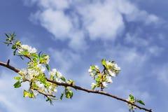 Hintergrund mit der blühenden Niederlassung eines Applebaums Lizenzfreies Stockfoto
