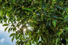 Hintergrund mit der Morgensonne, die durch Blätter scheint Stockfoto