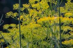 Hintergrund mit Dillregenschirmnahaufnahme Wohlriechender Dill auf dem Garten im Garten stockfotografie