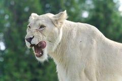 Hintergrund mit einem furchtsamen weißen schreienden Löwe Lizenzfreie Stockfotografie