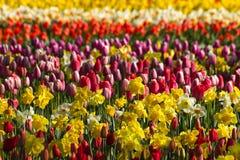 Hintergrund mit Frühlingsblumen Lizenzfreie Stockfotos