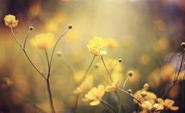 Hintergrund mit gelben Wildflowers einer Butterblume Stockbild