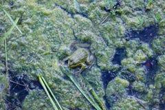 Hintergrund mit grünem Frosch stockfotografie