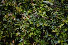Hintergrund mit grünen Niederlassungen eines Busches Lizenzfreie Stockfotos