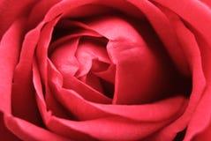 Hintergrund mit Nahaufnahmeansicht der schönen Rosarose Lizenzfreie Stockfotografie