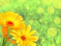 Hintergrund mit orange Blumen Stockfoto