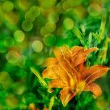 Hintergrund mit orange Lilie Lizenzfreie Stockfotos