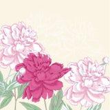 Hintergrund mit rosa Pfingstrose Lizenzfreies Stockfoto